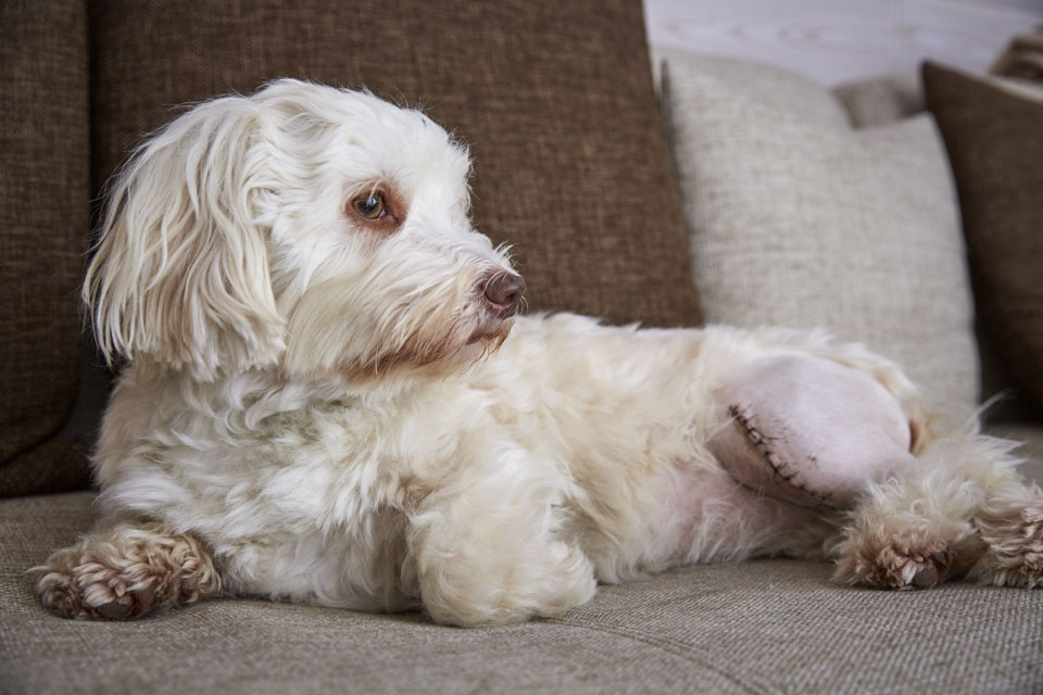Havanese dog with a scar of a patellaluxation operation on the left knee