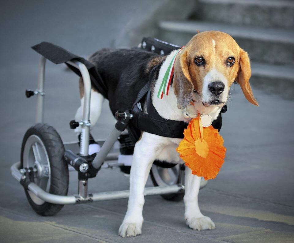 Beagle dog disabled isolated with wheelchair in street background